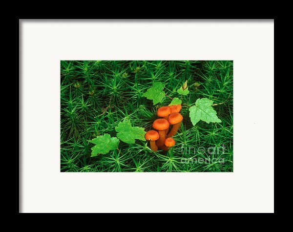 Wax Cap Fungi Framed Print By Jeff Lepore