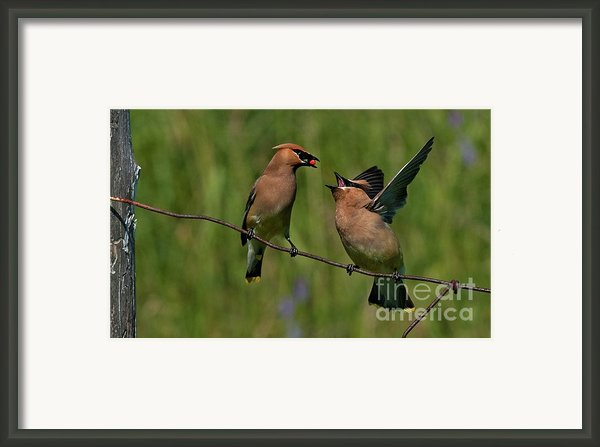Waxwing Love.. Framed Print By Nina Stavlund