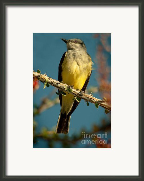 Western Kingbird Framed Print By Robert Bales