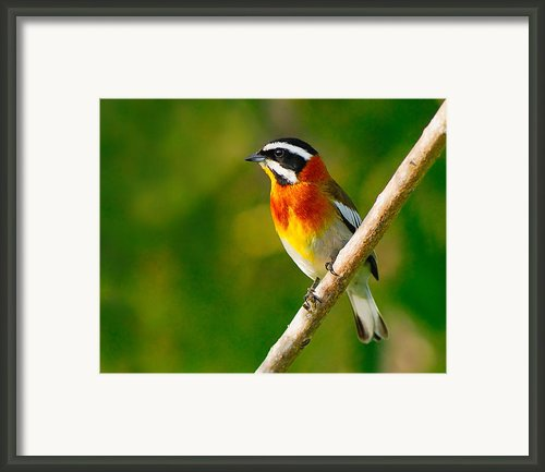 Western Spindalis Framed Print By Tony Beck