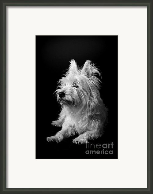 Westie Framed Print By Catherine Reusch  Daley