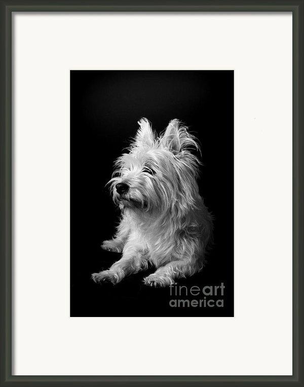 Westie Framed Print By Catherine Reusch  Daley