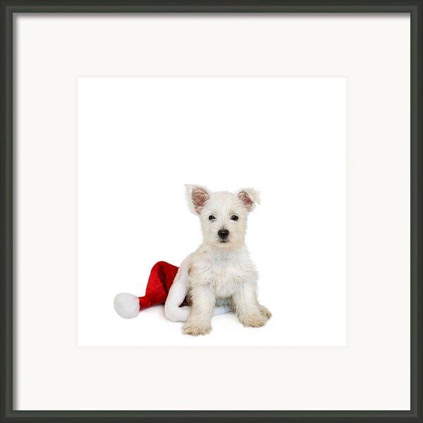Westie Puppy And Santa Hat Framed Print By Natalie Kinnear