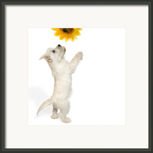 Westie Puppy And Sunflower Framed Print By Natalie Kinnear