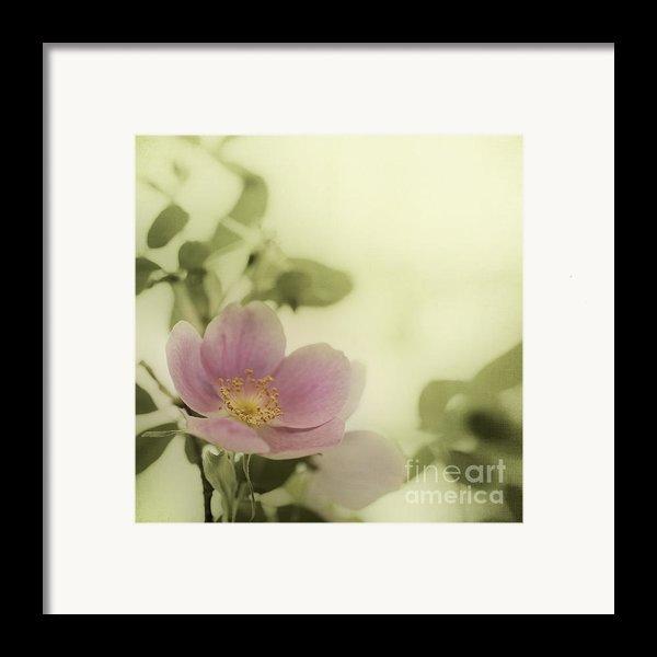 Where The Wild Roses Grow Framed Print By Priska Wettstein