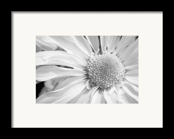 White Daisy Framed Print By Adam Romanowicz