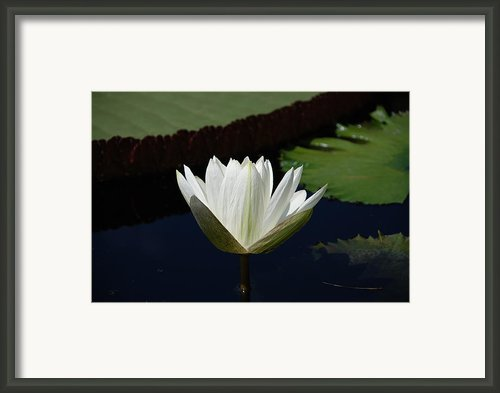 White Flower Growing Out Of Lily Pond Framed Print By Jennifer Lyon