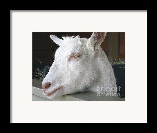 White Goat Framed Print By Ann Horn