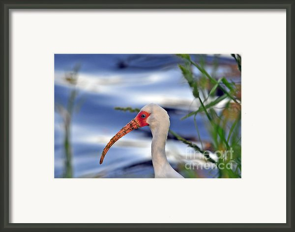 White Ibis Close Up Framed Print By Al Powell Photography Usa