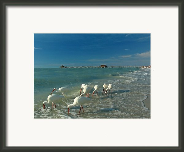 White Ibis Near Historic Naples Pier Framed Print By Juergen Roth