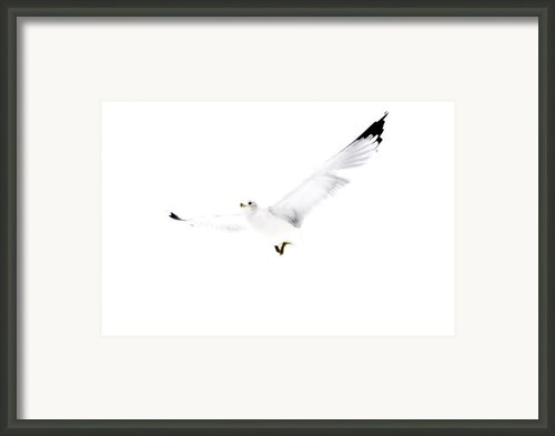 White In Flight Framed Print By Emily Stauring
