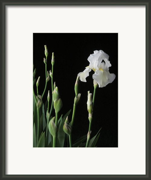 White Iris In Black Of Night Framed Print By Guy Ricketts
