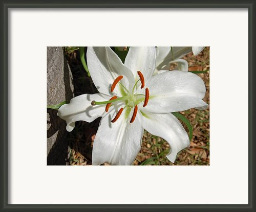 White Lily Framed Print By Aimee L Maher