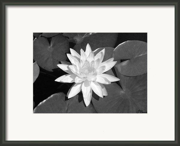 White Lotus 2 Framed Print By Ellen Henneke