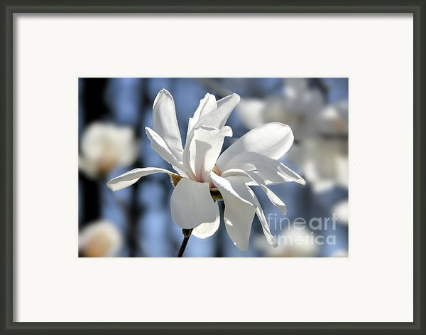 White Magnolia  Framed Print By Elena Elisseeva