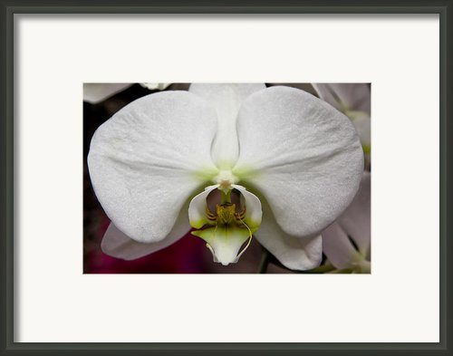 White Orchid Close Framed Print By Timothy Blair