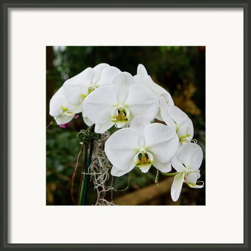 White Orchids 2 Framed Print By Timothy Blair