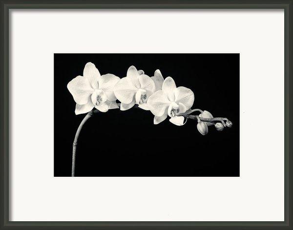 White Orchids Monochrome Framed Print By Adam Romanowicz