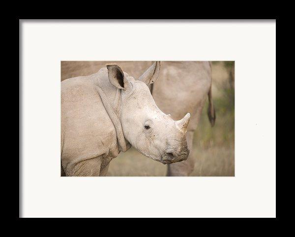 White Rhinoceros Calf Framed Print By Science Photo Library