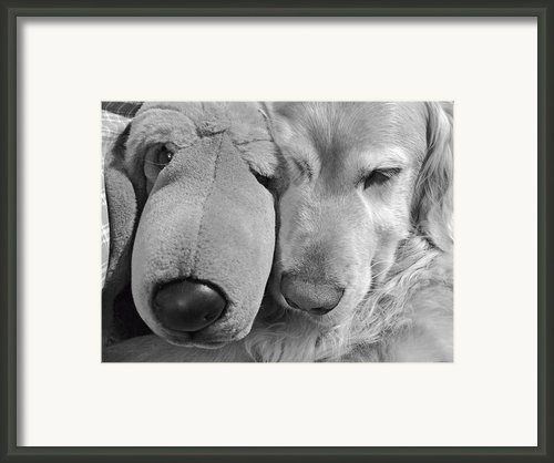 Who Has The Biggest Nose Golden Retriever Dog  Framed Print By Jennie Marie Schell