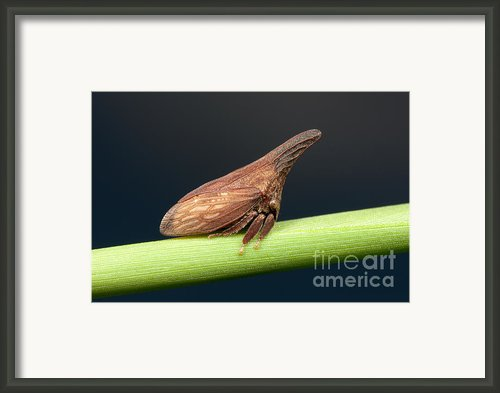 Widefooted Treehopper Ii Framed Print By Clarence Holmes
