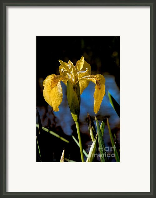 Wild Iris Framed Print By Robert Bales