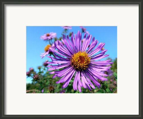 Wild Purple Aster Framed Print By Christina Rollo