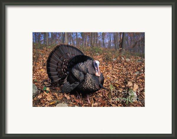 Wild Turkey Displaying Framed Print By Len Rue Jr