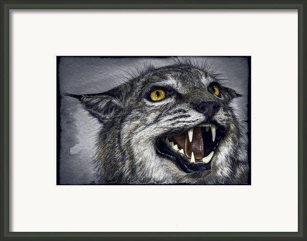 Wildcat Ferocity Framed Print By Daniel Hagerman