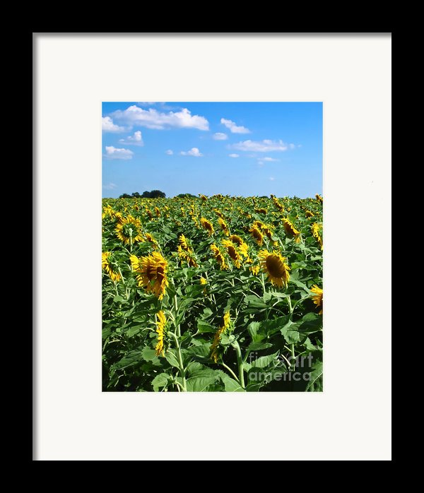 Windblown Sunflowers Framed Print By Robert Frederick
