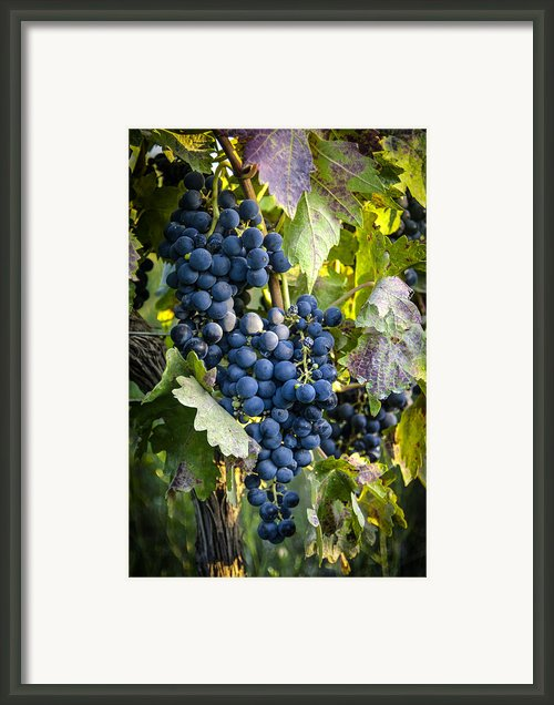 Wine Grapes Framed Print By Tetyana Kokhanets