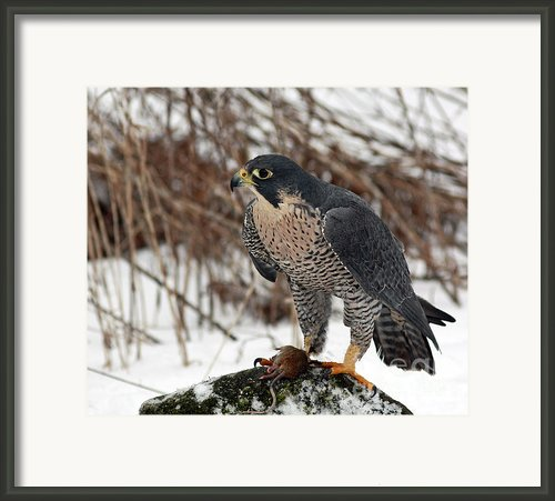 Winter Hunt Peregrine Falcon In The Snow Framed Print By Inspired Nature Photography By Shelley Myke
