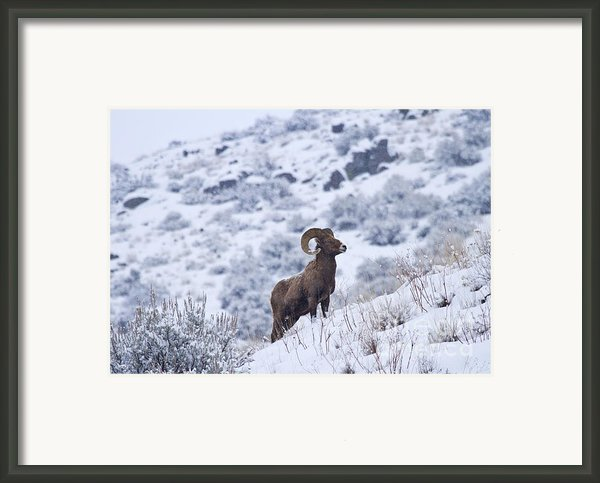 Winter Ram Framed Print By Mike  Dawson