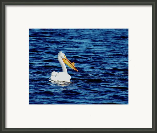 Wisconsin Pelican Framed Print By Thomas Young