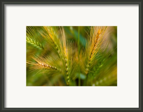 Wonderous Wild Wheat Framed Print By Wenata Babkowski