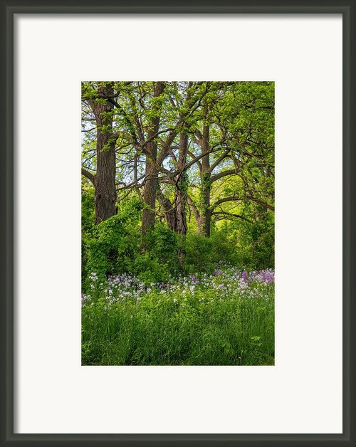 Woodland Phlox 2 Framed Print By Steve Harrington