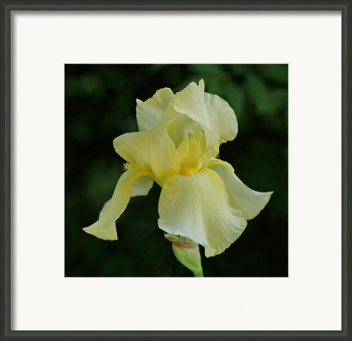 Yellow Iris Framed Print By Sandy Keeton