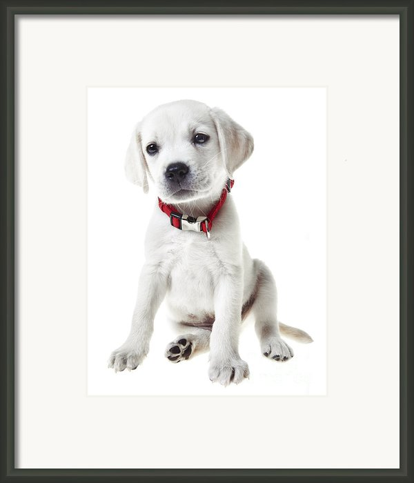 Yellow Lab Puppy Framed Print By Diane Diederich
