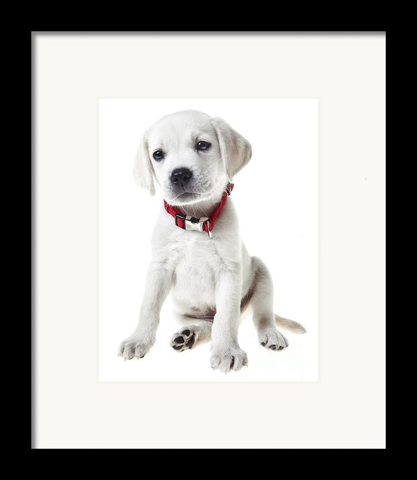 Yellow Lab Puppy Framed Print By Diane Diederich