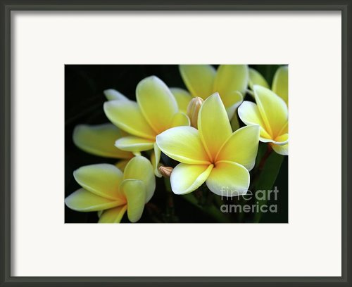 Yellow Plumeria Cascade Framed Print By Sabrina L Ryan