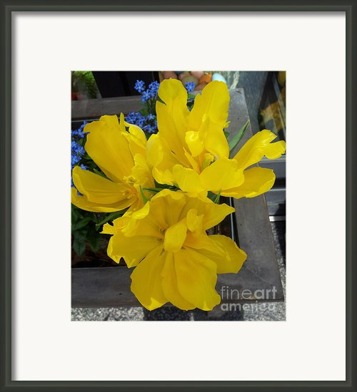 Yellow Tulips Framed Print By Michaela Sibi