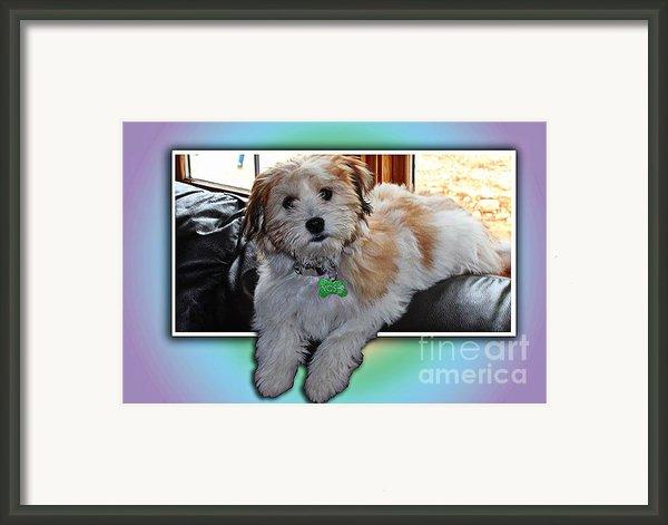 Yoshi Havanese Puppy Framed Print By Barbara Griffin