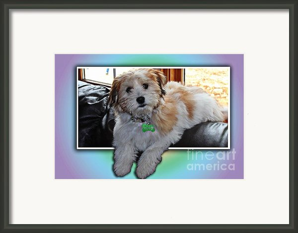 Yoshi Havanese Puppy Framed Print By Barbara Griffin