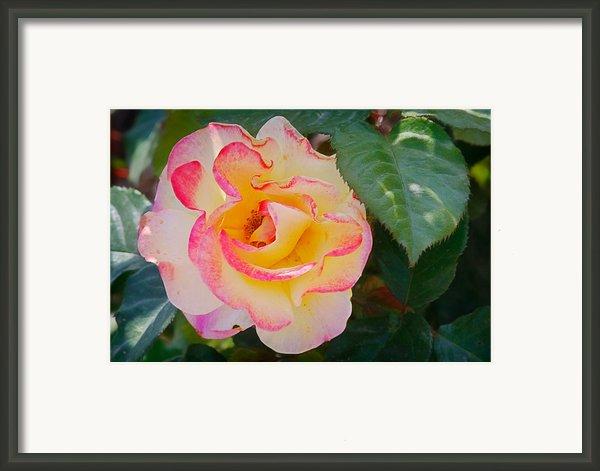 You Love The Roses - So Do I Framed Print By Christine Till
