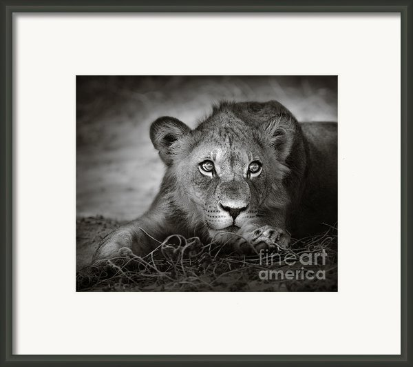 Young Lion Portrait Framed Print By Johan Swanepoel