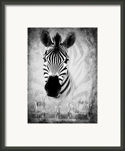 Zebra Profile In Bw Framed Print By Ronel Broderick