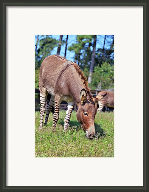 Zedonk Or Zebroid Framed Print By Susan Leggett