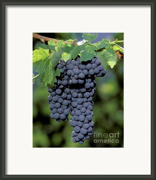 Zinfandel Wine Grape Clusters Framed Print By Craig Lovell