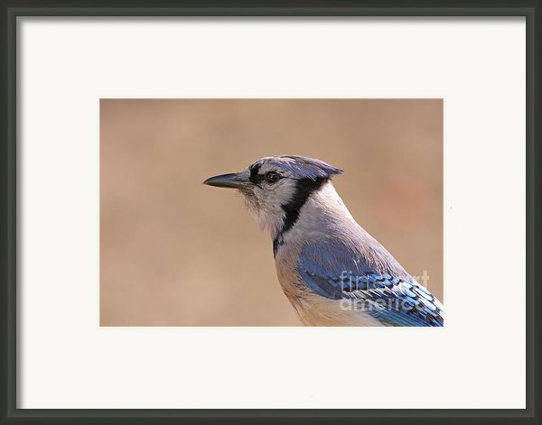 Blue Jay Posing Framed Print By David Cutts