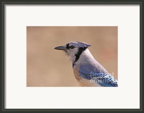 Blue Jay Posing Framed Print By David Cutts